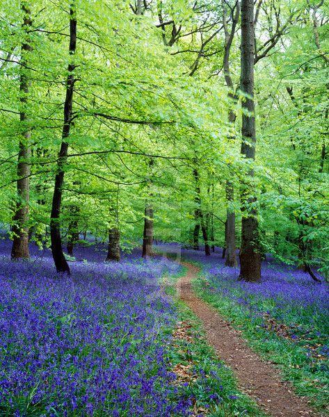 Forest Of Dean Bluebells Forest Of Dean Landscape Forest