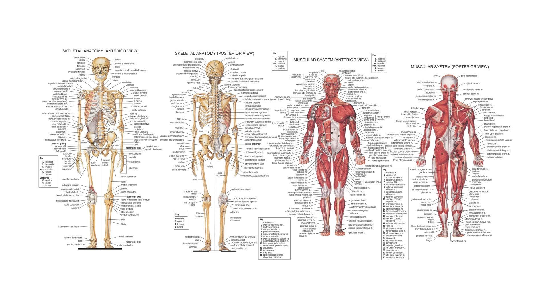 Anatomy Of Body  Human Anatomy Hd Wallpaper  Fullhdwpp  Full Hd