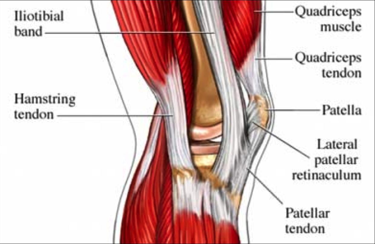 images fascia patella - Google Search | knee anatomy | Pinterest ...
