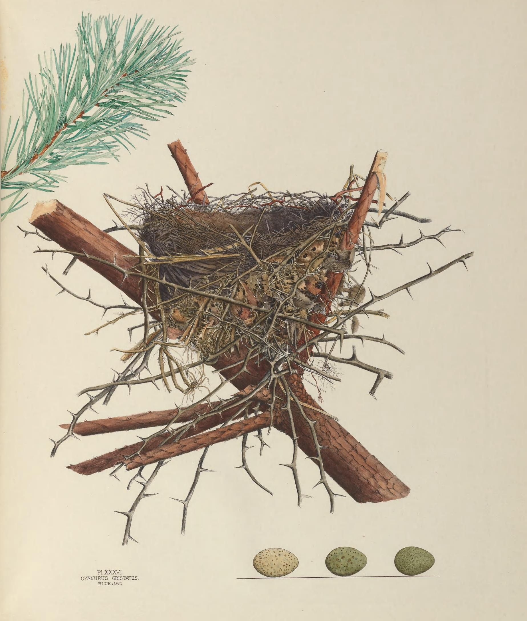 Drawing printout how to draw a bird nest - 1 Illustrations Of The Nests And Eggs Of Birds Of Ohio