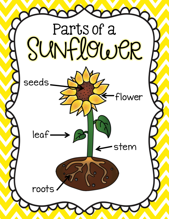 parts of a sunflower labels teaching pinterest first grade Parts of a Loom Diagram parts of a sunflower labels