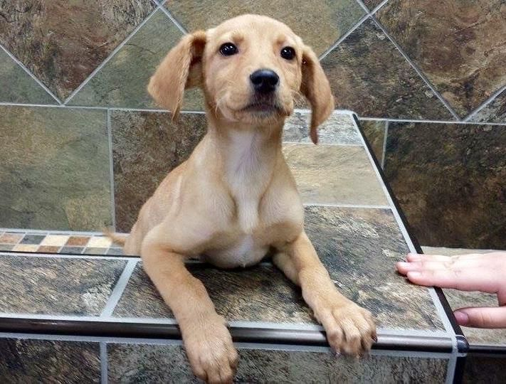 """Betty Crocker is part of a litter dubbed the """"Box Brand"""" pups. These adorable Labrador Retriever mixes are playful, friendly, and affectionate. They will happily shower you with wet puppy kisses. All are excellent with other dogs, cats, and..."""