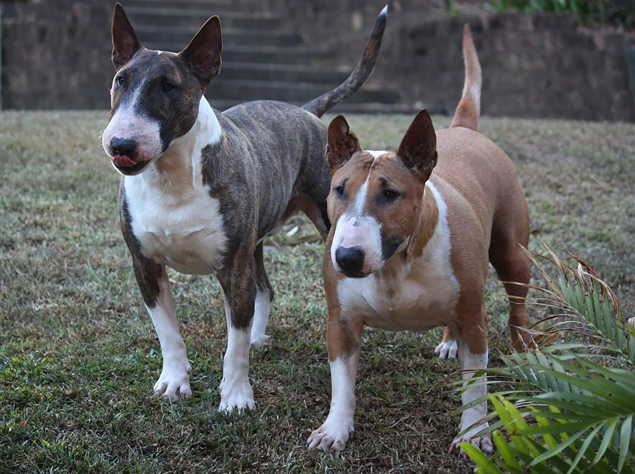 Two bullterriers standing in the grass Dog breeds, Bull