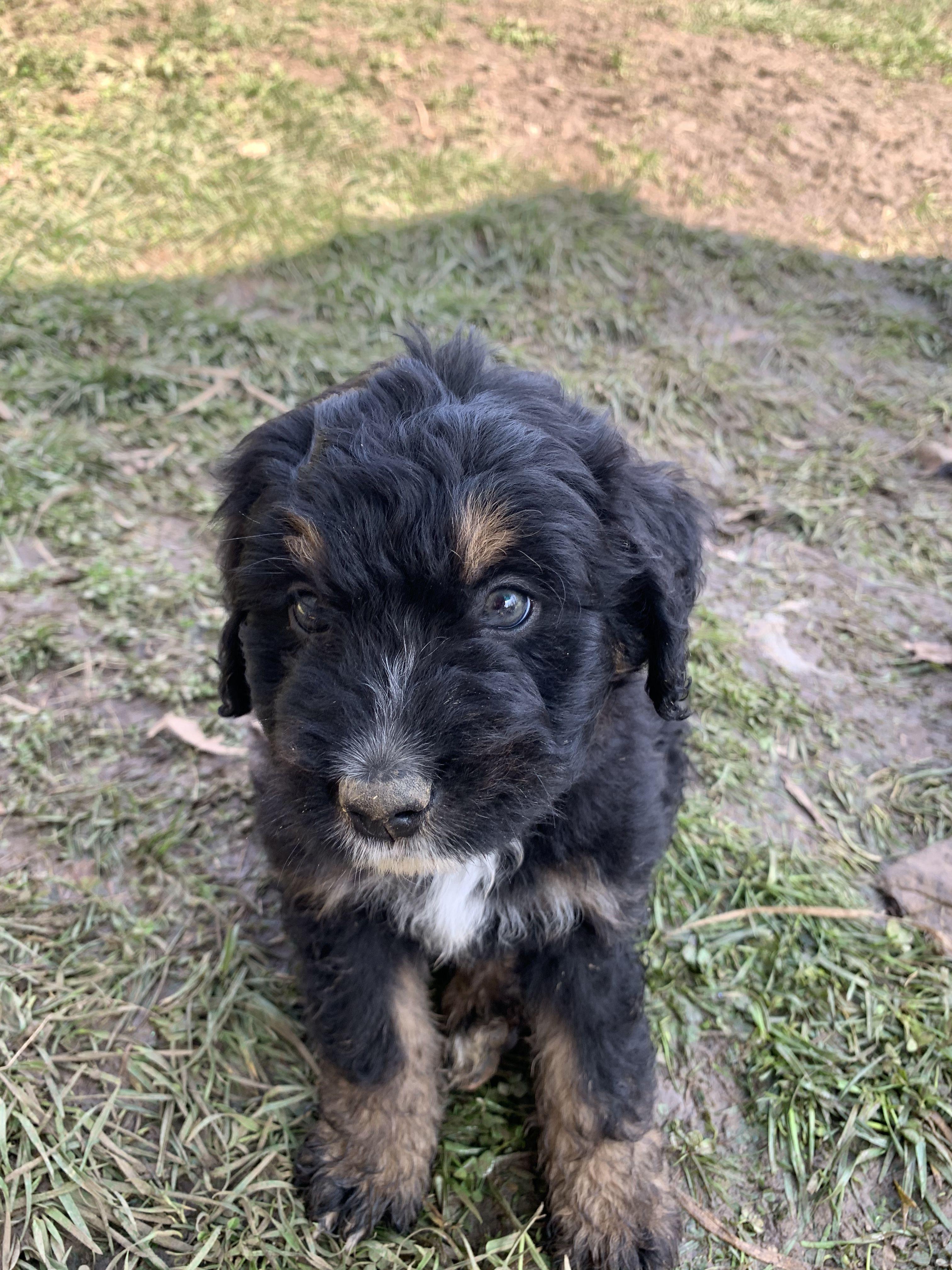 Dexter In 2020 Puppies For Sale Puppies Puppy Finder