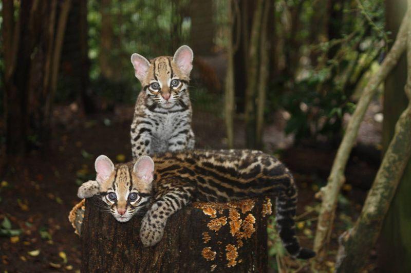 GreenvilleZoo ocelot kittens