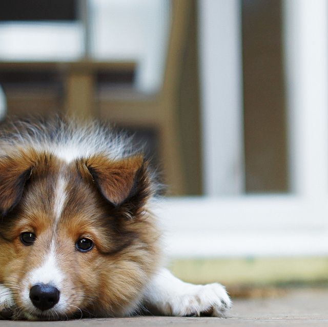 Sheltie Smile Sheep Dog Puppy Shetland Sheepdog Shetland Sheepdog Puppies