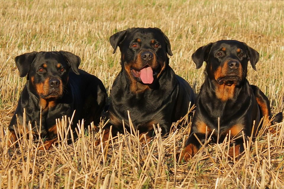 Top 10 Dog Breeds In The U S A Rottweiler Facts Dog Breeds