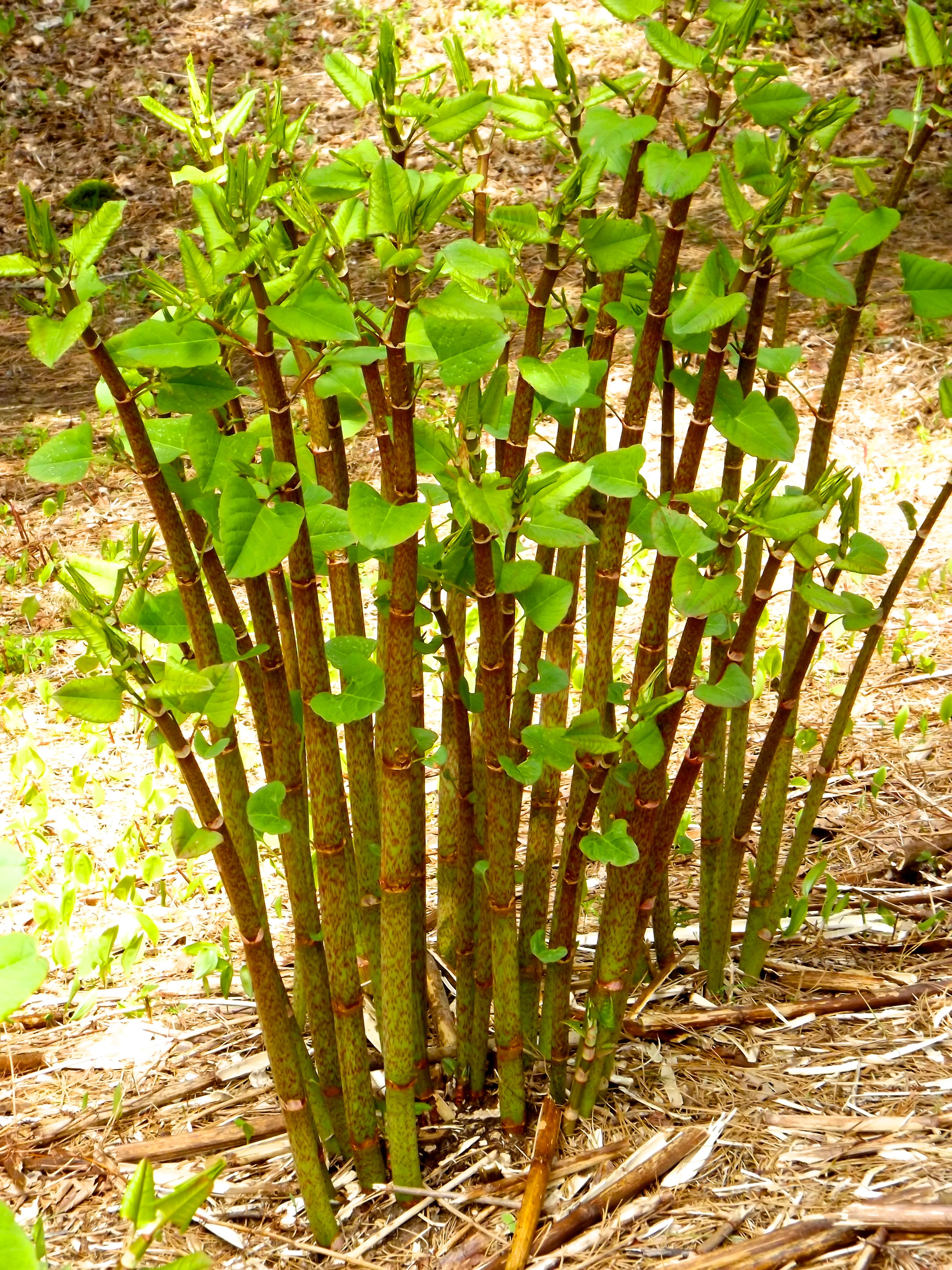 japanese knotweed although known as an invasive species