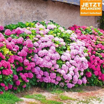 hortensien durch stecklinge vermehren hortensien pink und pflanzen. Black Bedroom Furniture Sets. Home Design Ideas