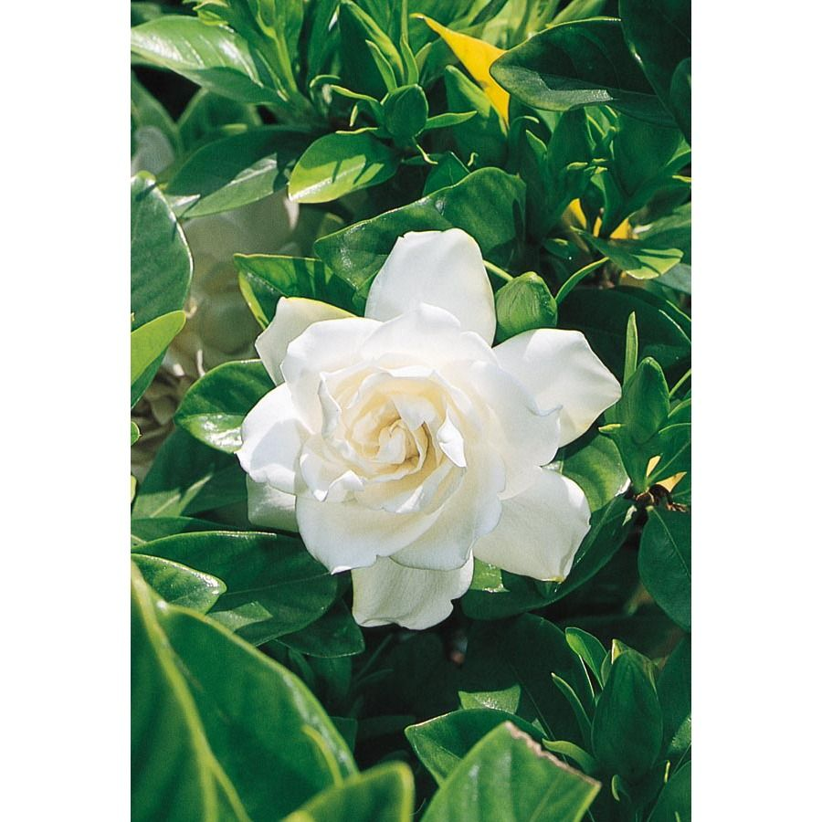 2 25 Gallon White August Beauty Gardenia Flowering Shrub L3497