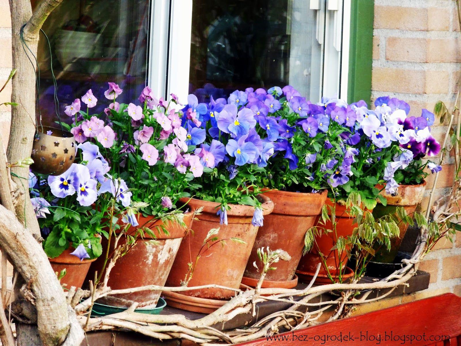 Kwiaty Cebulowe W Donicach Bez Ogrodek Blog Ogrodniczy Pansies Planter Pots Window Sill