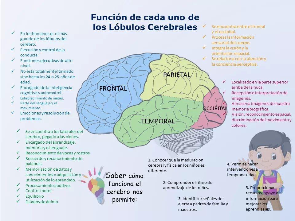 Pin De Michelle Olarte En Psicología Neurociencia Y Educacion Anatomia Y Fisiologia Humana Psicobiología