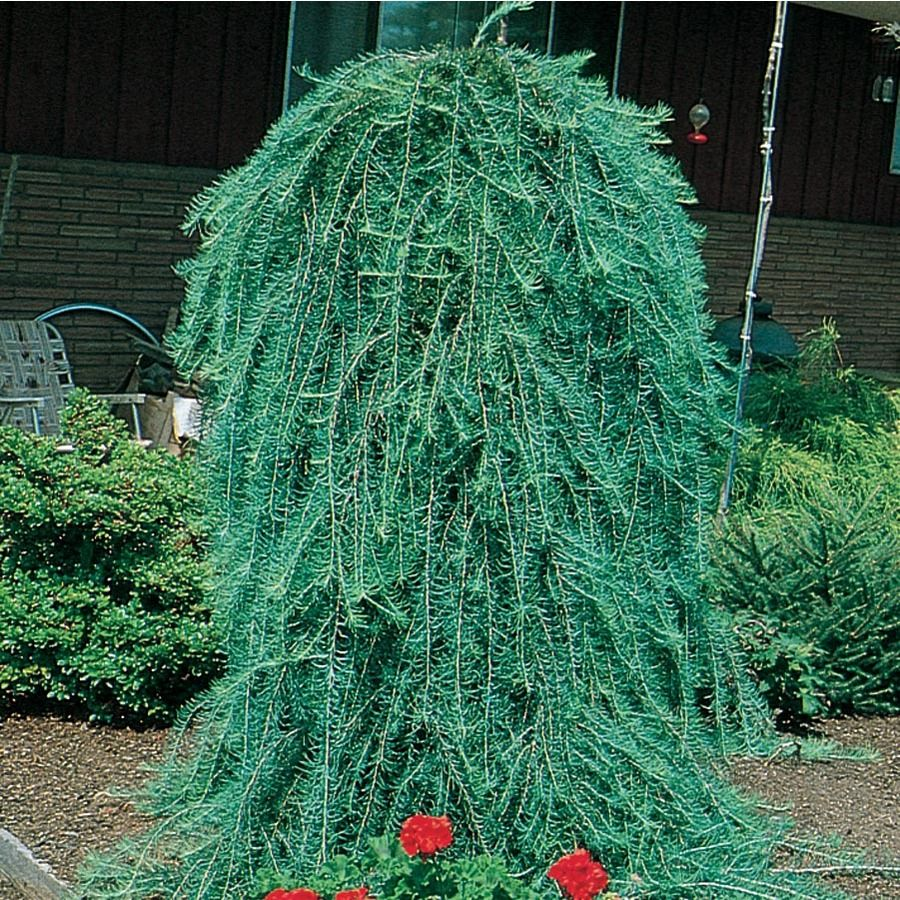 3 25 Gallon Green Weeping Larch Feature Tree In Pot With Soil