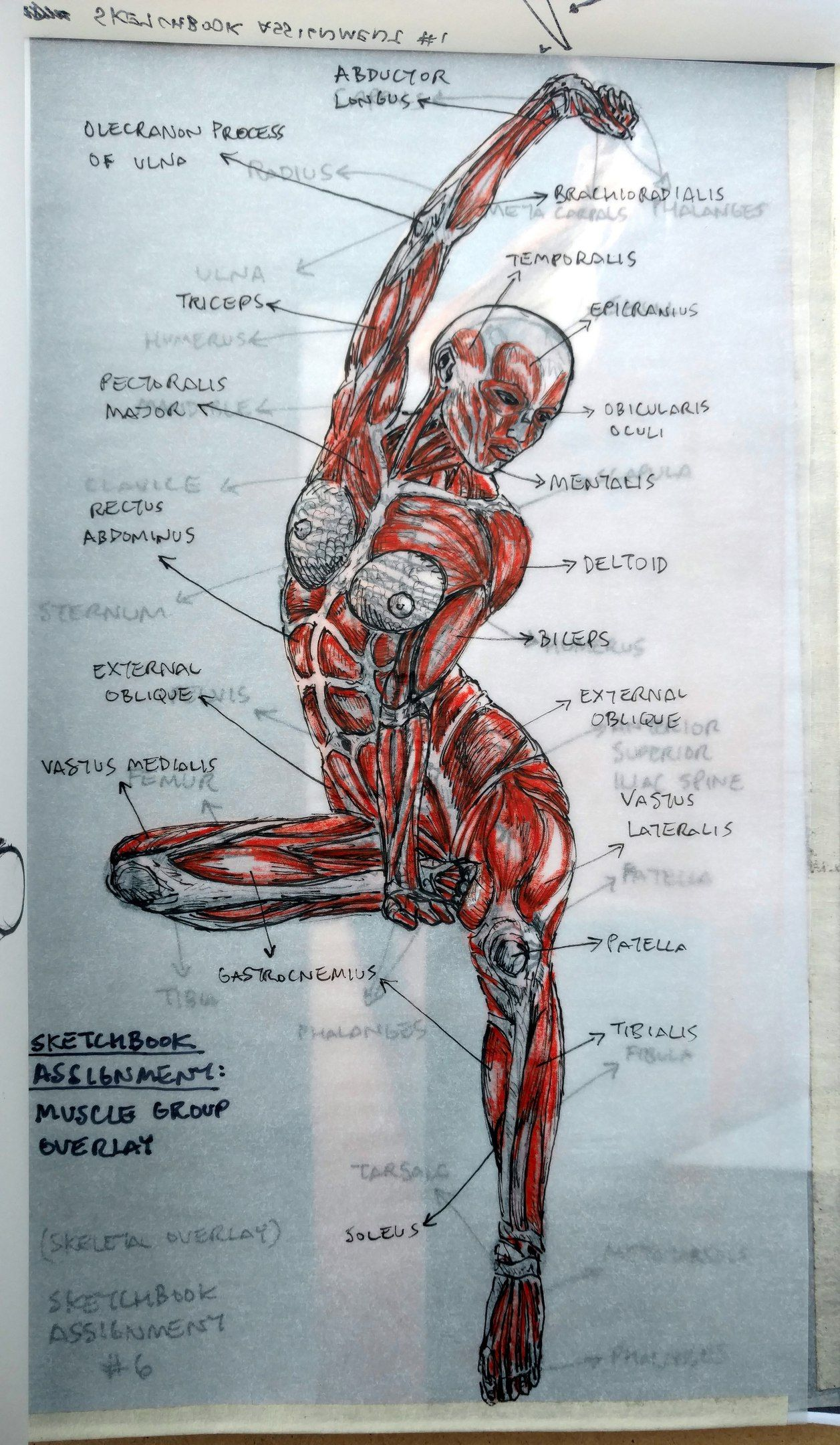 The study of anatomy (article) | Khan Academy