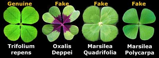 Happy St Patrick S Day Facts About Real Four Leaf Clovers