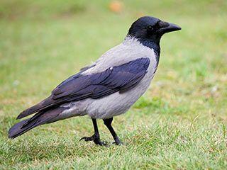 nebelkr he schwarz grauer mantel raben v gel crow rook pinterest nebelkr he. Black Bedroom Furniture Sets. Home Design Ideas