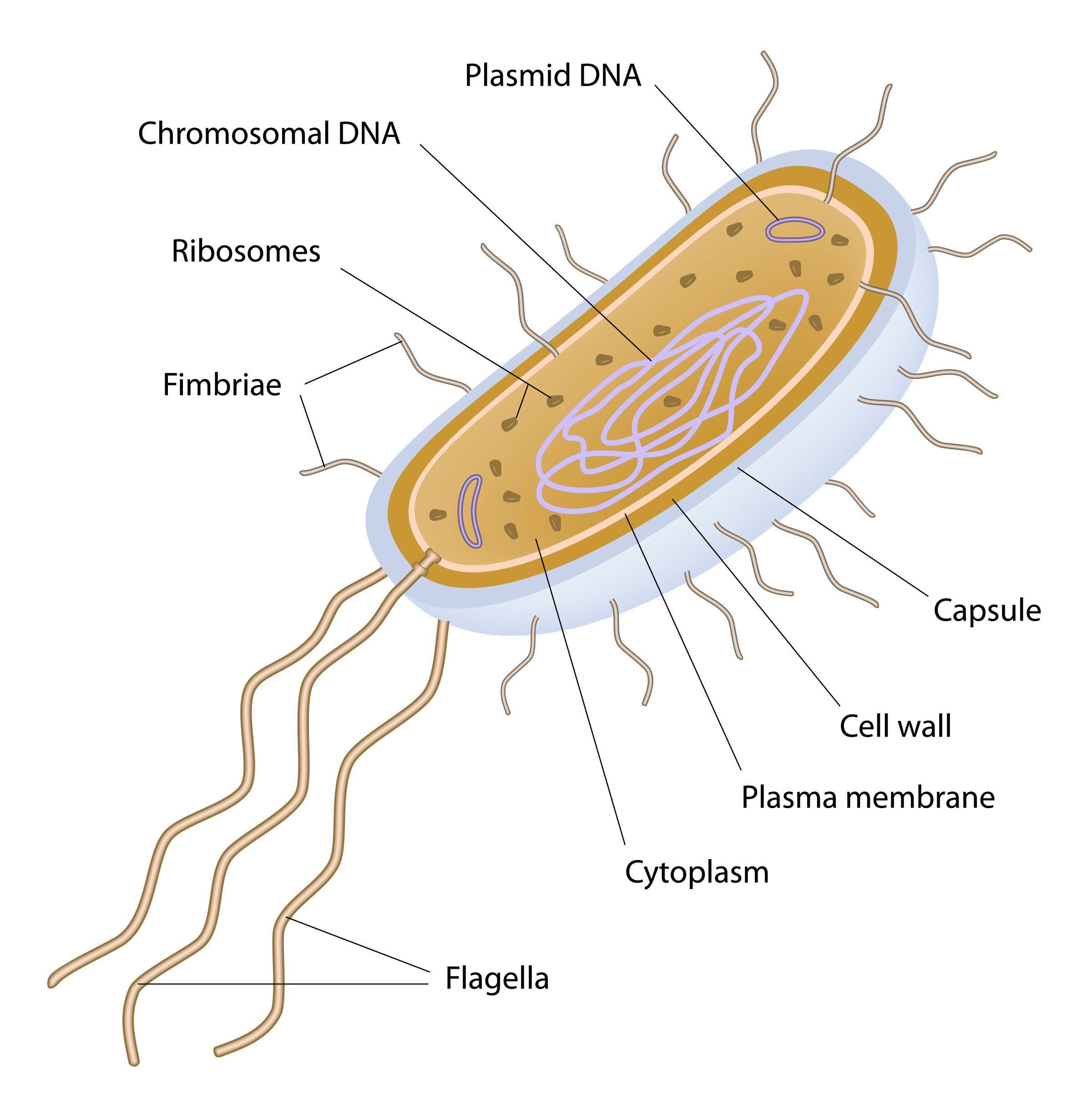 Cells Alive Worksheet Answers Cells Alive Bacterial Cell