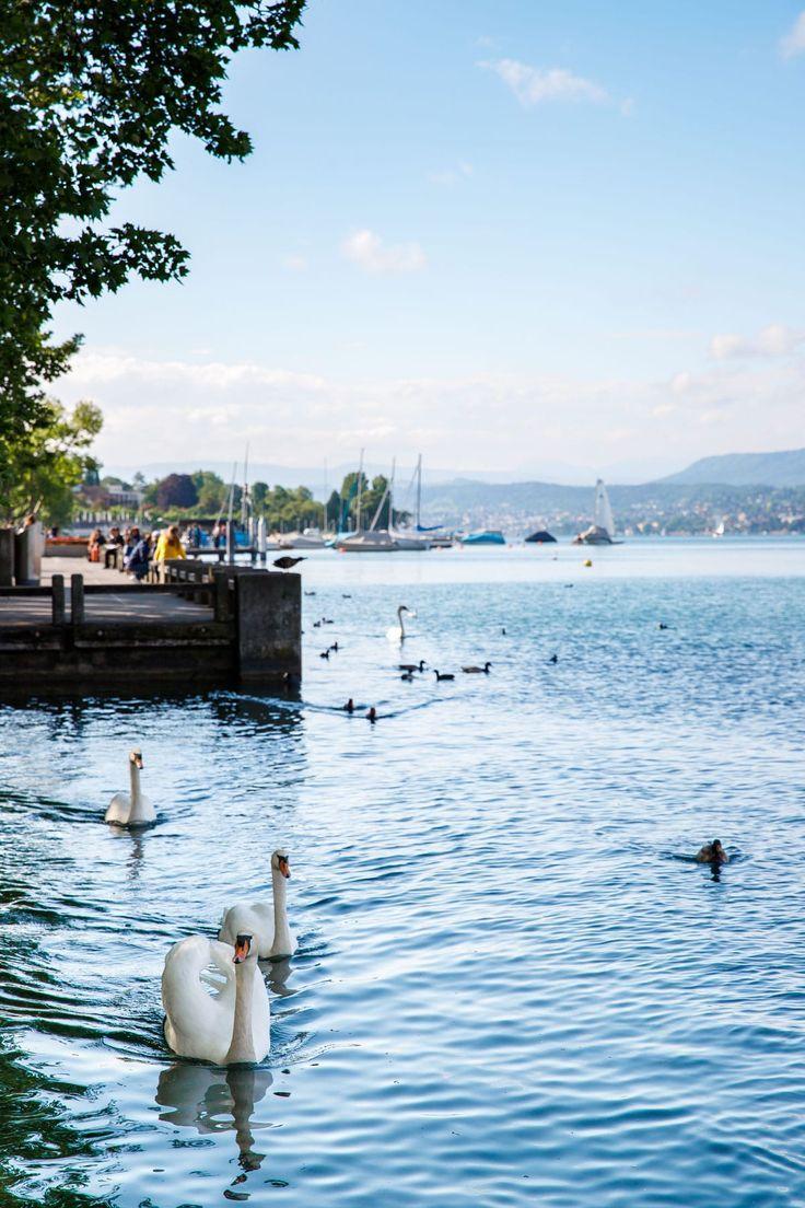 Swans swimming in Lake Zurich, Switzerland