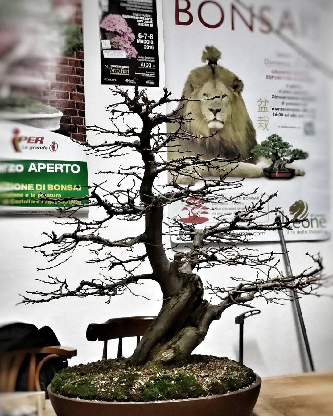 """""""Mi piace"""": 0, commenti: 1 - L'ABC del Verde (@abcdelverde) su Instagram: """"L'ABC del Verde Faggio #bonsai #bonsaipot  #L'ABCdelVerde"""""""
