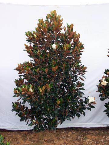 Magnolia Grandiflora Little Gem Dwarf Southern Magnolia Low