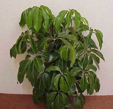 House plants pictures and names schefflera click to enlarge beautiful houseplants - House plants names and pictures ...