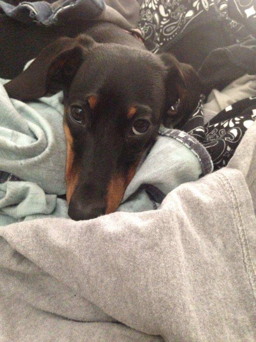 My Haley 9 Months Old Dachshund Pup Dachshund Pup Doxie