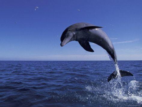 bottlenose dolphin leaping bahamas