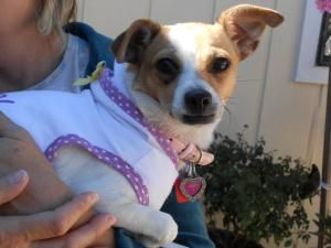 Zoey is an adoptable Chihuahua Dog in Spring, TX. Zoey is a darling one year old chihuahua/jack russell mix who weighs 10lbs.  She was dumped/left at an apartment complex and roamed for days wondering...