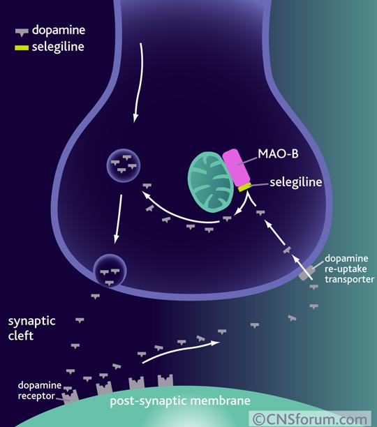 The mechanism of action of monoamine oxidase B inhibitors