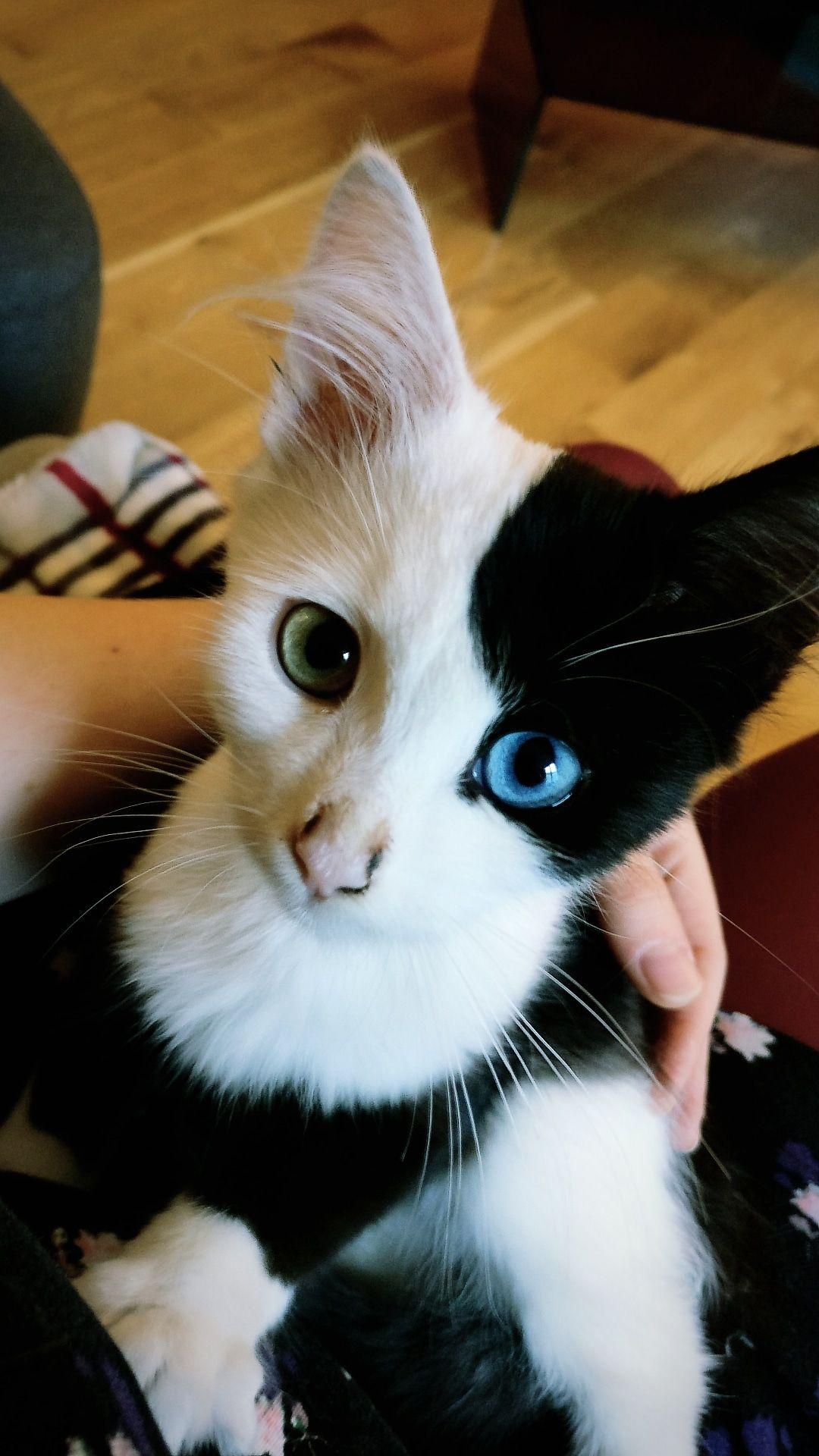 Reddit Meet Pixel My Beautiful Kitten With Heterochromia Animals