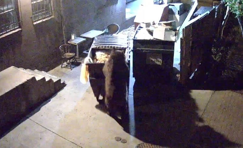 Clever Bear Steals Entire Dumpsters from Restaurant