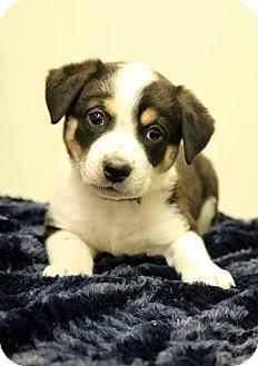 Hagerstown Md Australian Shepherd Beagle Mix Meet Selina A