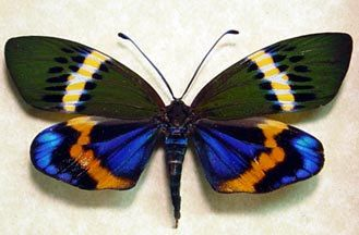 Real Rare Colorful Day Flying Moth Female