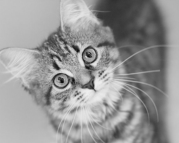 Black And White Kitten Photograph Cat Photography Cat Portrait Cute Cat Kitty Tiger Cat Animal Art Cat Portraits Black And White Kittens Cat Photography