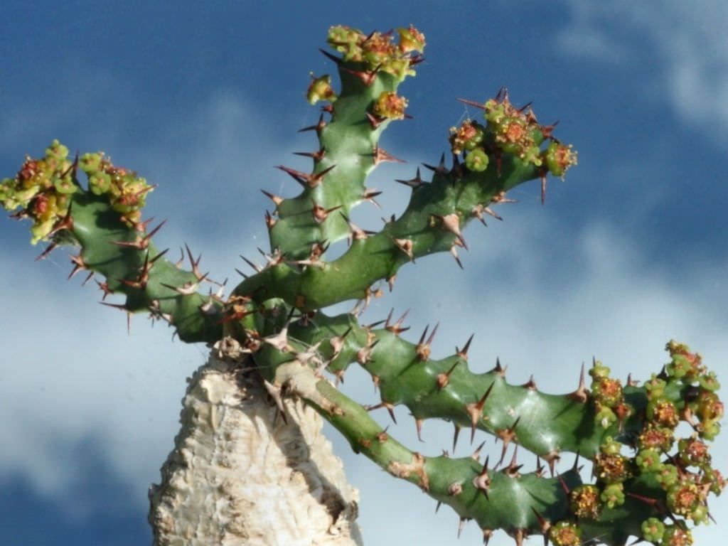 Euphorbia Squarrosa Is A Spiny Succulent Plant With Fleshy Underground Root The Short Subterranean Primary Shoot Equipped