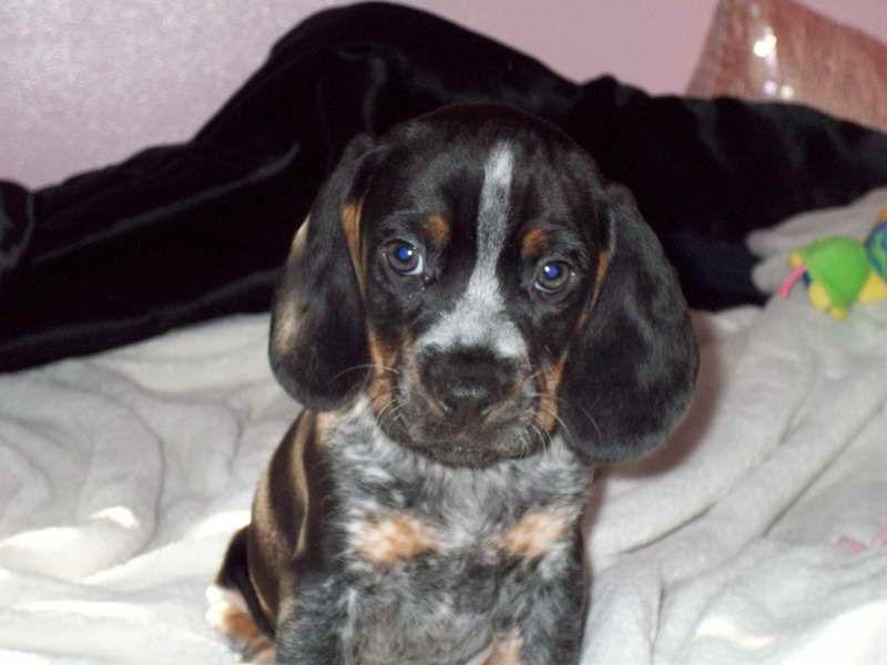 Blue Tick Beagle For Sale Blue Tick Beagle Beagle Beagle Puppy