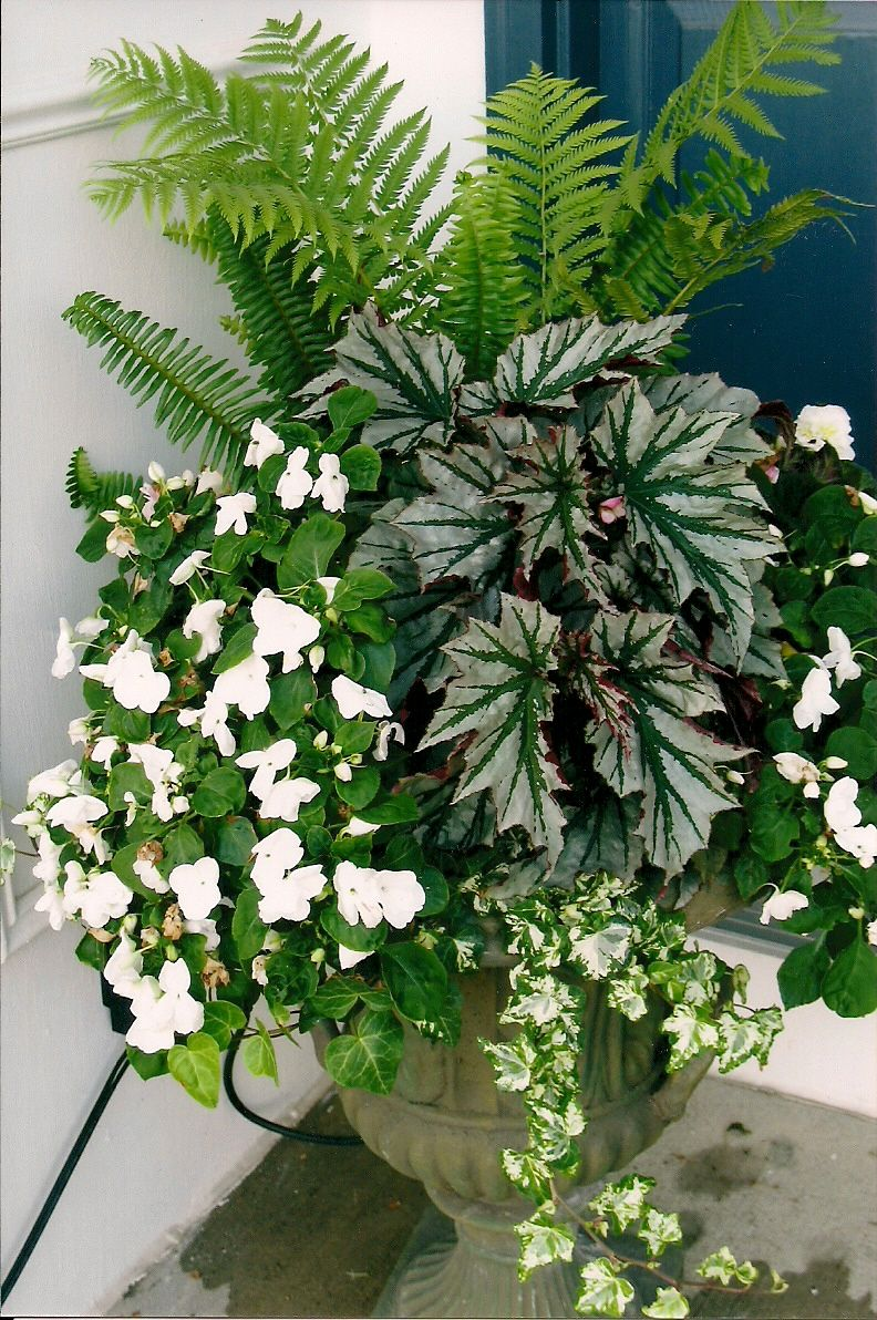 Ferns impatiens begonia and ivy wonderful shade urn for Outside plants and shrubs