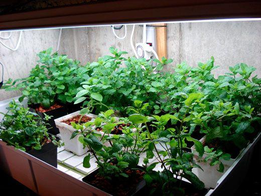 Ebb flood subirrigation hydroponic herbs under fluorescent