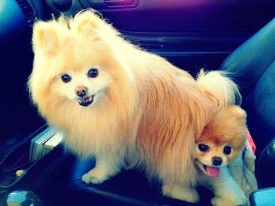 boo et buddy deux chiens mignons peluches vivantes 12   Boo et Buddy   web star spitz pomeranien photo peluche nain loulou de Pomeranie imag...