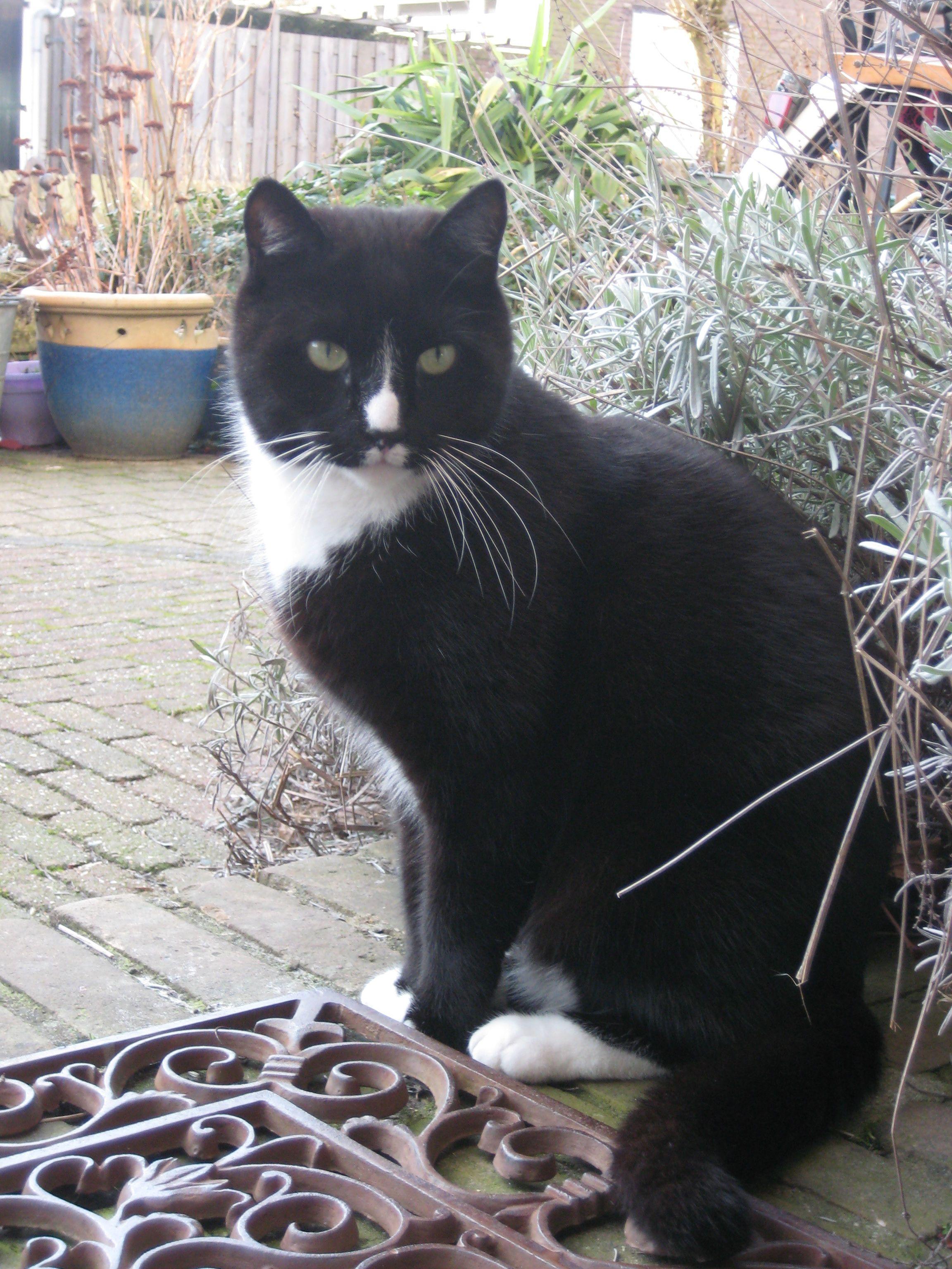 tuxedo cat Kees