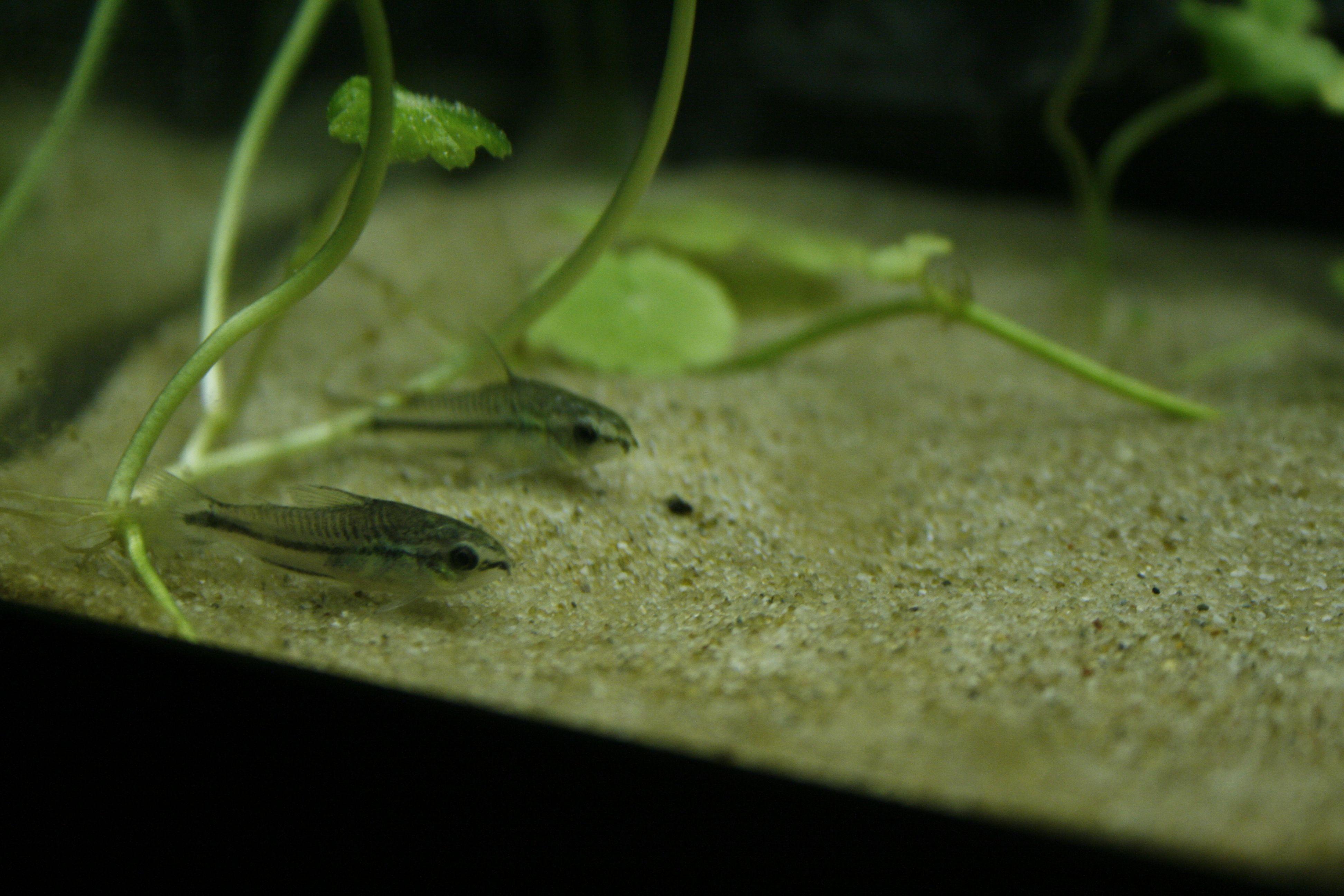 Caresheet Pygmy Cory Corydoras Pygmaeus Hastatus Habrosus Red Cherry Shrimp Fish Cherry Shrimp