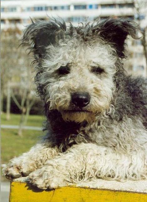 Pumi-ee.jpg / P / Pumi / / Dog Breed Picture - (600x487 - 40kB)