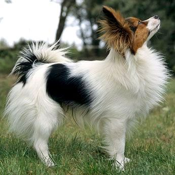 Papillion White Black And Tan Hound Tri Small Dog Breed Dog Fancy Pinned From Dogchannel Com Papillon Dog Dog Breeds Dogs