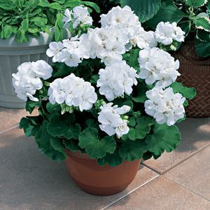 white Geraniums use in different areas for height, there are different shades of pink and even a salmon color that might be nice instead of just white, but like the height and size of the geranium