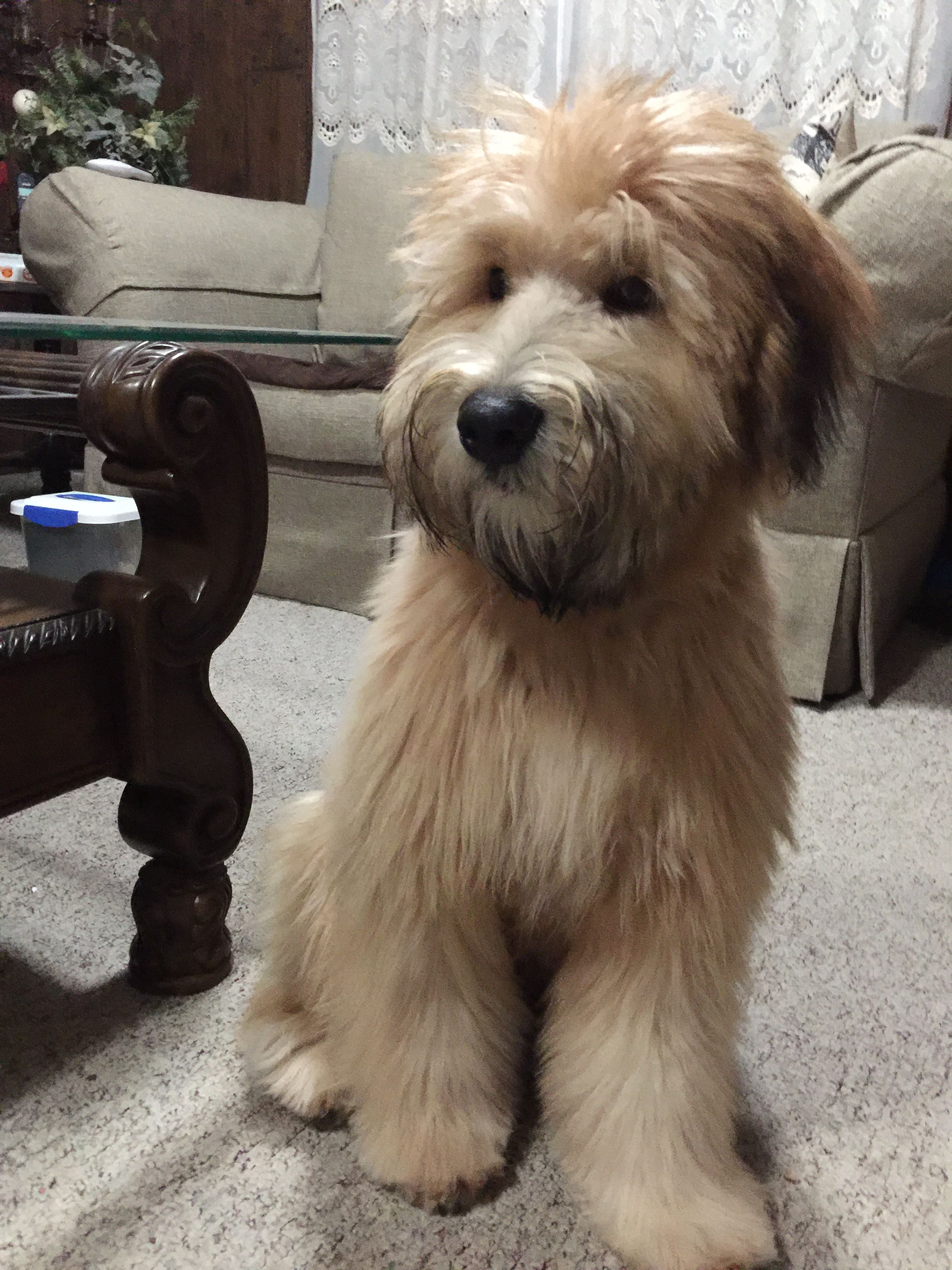 Remington My 6 Month Old Soft Coated Wheaten Terrier