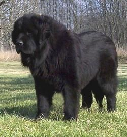 Newfoundland Puppies And Newfoundland Breeders Newfoundlands Black And Landseers New York Ny Newfoundland Puppies Newfoundland Dog Puppy Landseer Dog
