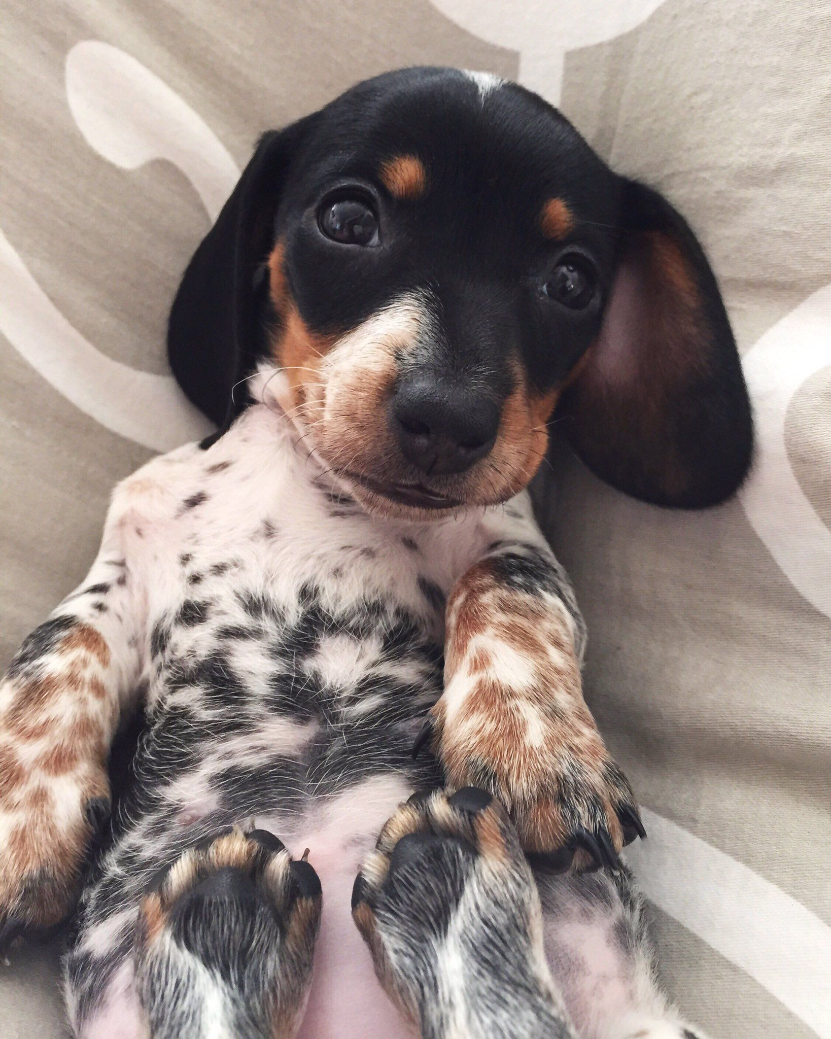 Moo' - Adorable Little Reese the Miniature #dachshund Puppy … | Baby  animals, Dachshund puppies, Cute animals