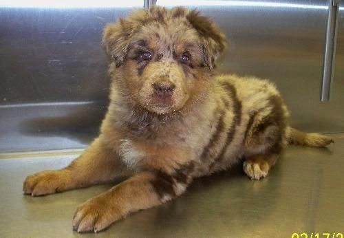 Adopt Digiovanni A On Petfinder Animal Welfare League Dog Adoption Australian Shepherd Dogs