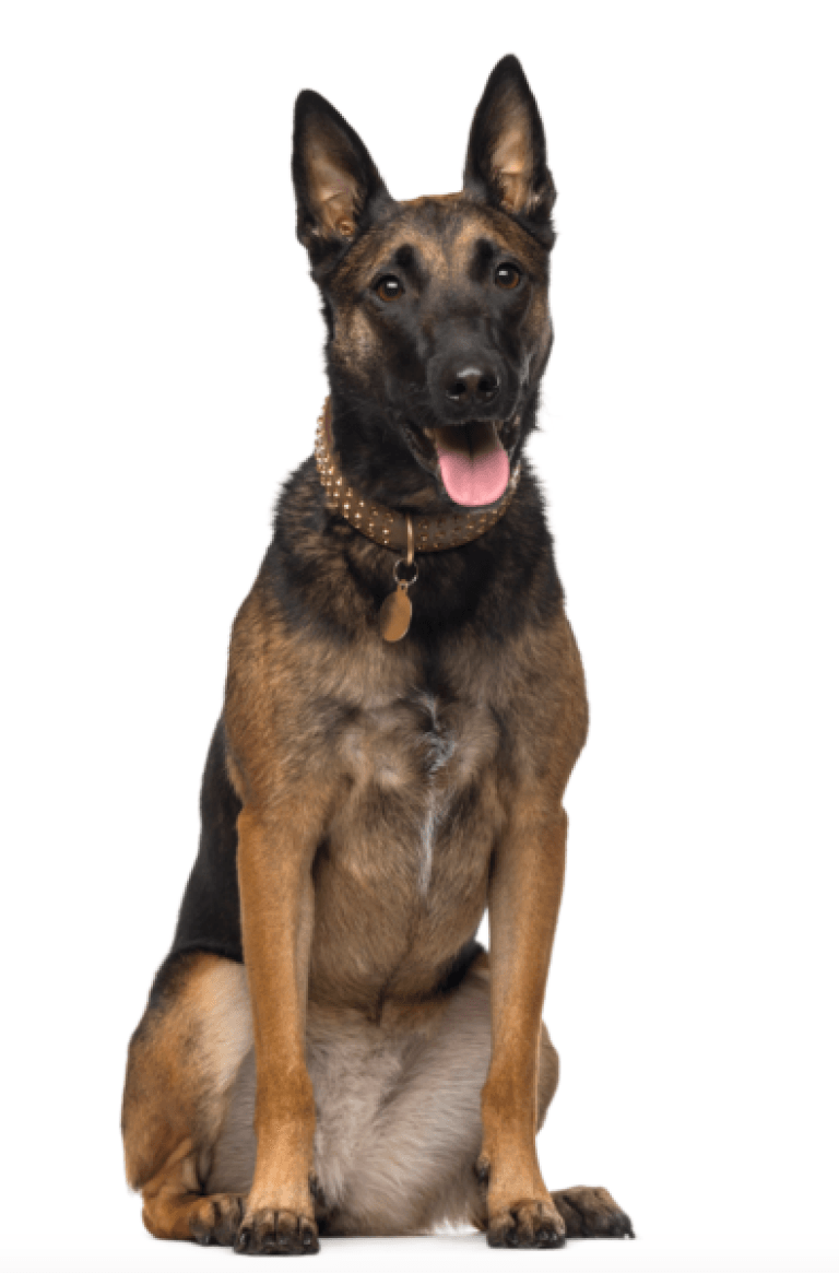 Akc Belgian Malinois Puppies For Sale In California Malinois