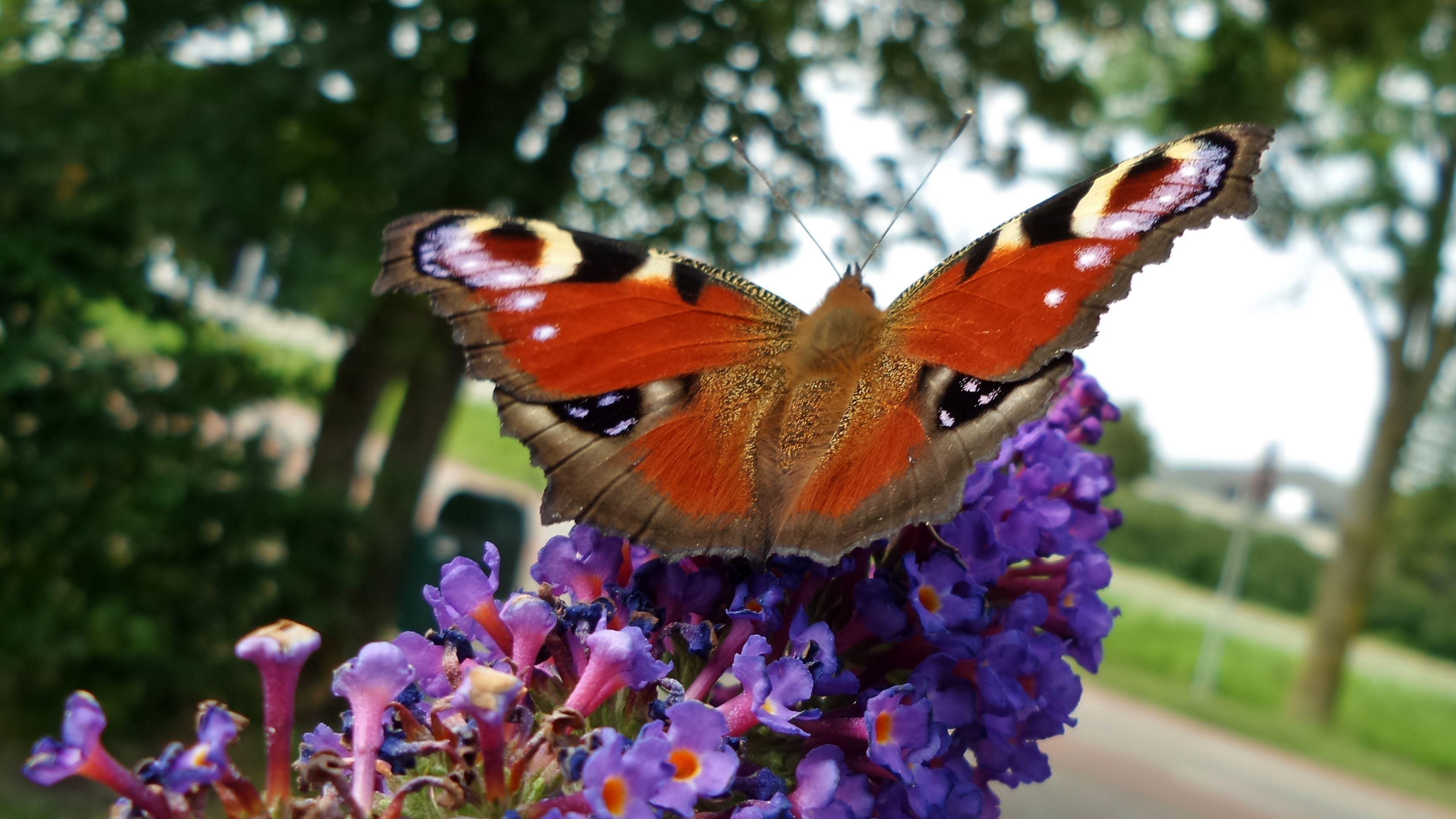 Butterfly, Holland, Stompetoren 2016